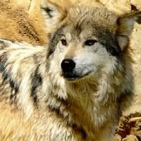De Mexicaanse wolf