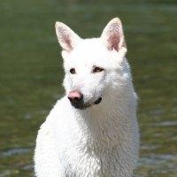 De witte Saarlooswolfhond