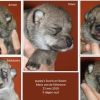 Saarlooswolfhond pup kopen